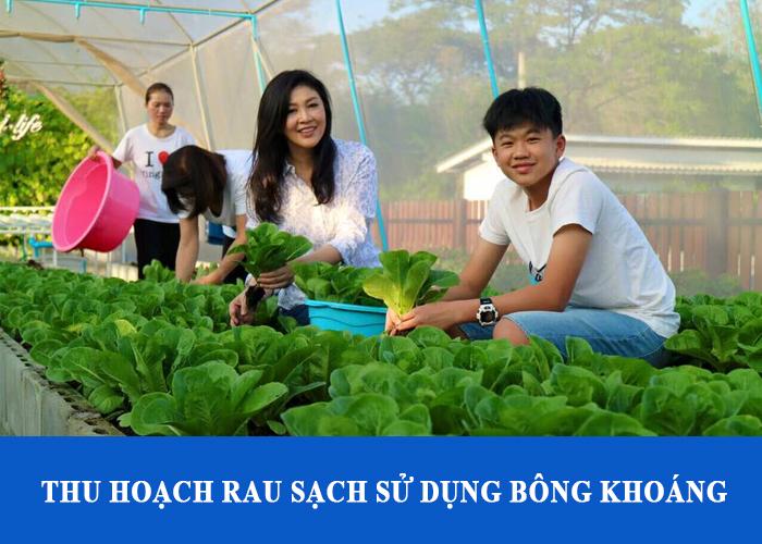 Thu hoạch rau sạch trồng bông thủy tinh